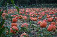 The 2020 Pumpkin Patch
