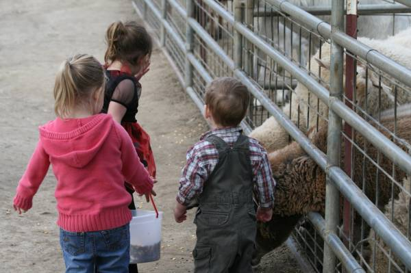 Kids love feeding corn to our sheep