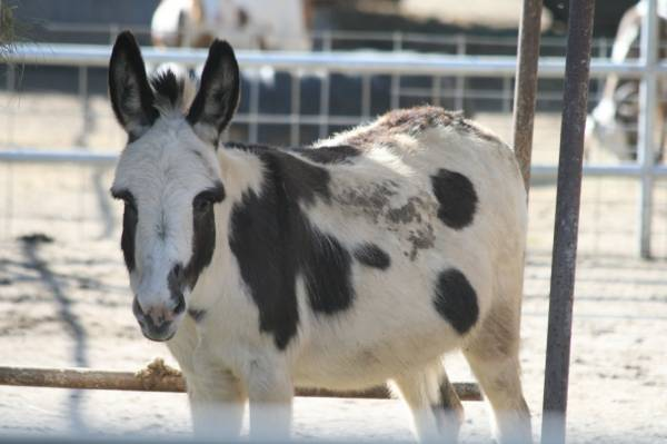 One of our mini donkeys