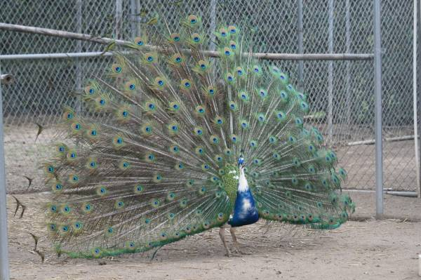 Our perfect peacock