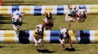 Racing Jack Russells
